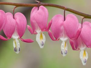 Row of Pink Bleeding Heart Flowers, Dicentra Spectabilis, in Spring by Darlyne A. Murawski