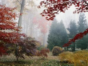 Several Japanese Maple Trees in the Fall by Darlyne A. Murawski