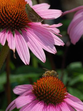 Skipper Butterfly and a Bee Driking Nectar from Purple Coneflowers, Belmont, Massachusetts, USA by Darlyne A. Murawski