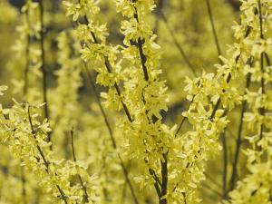 Spring Flowers, Forsythia, Mid-April, Massachusetts by Darlyne A. Murawski