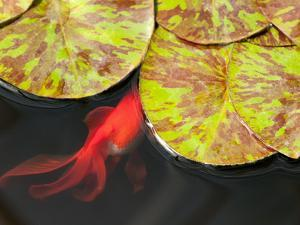 Star of Siam Water Lily Leaves, Nymphaea Species, and Goldfish by Darlyne A. Murawski