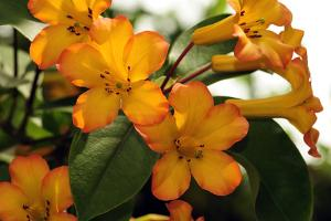 The Flowers and Leaves of a Vireya Rhododendron Shrub by Darlyne A. Murawski