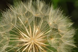 The Seed Head of a Western Salsify Plant, Tragopogon Dubius by Darlyne A. Murawski