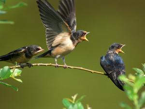 Three Barn Swallow Fledglings Begging for a Meal, Arlington, Massachusetts, USA by Darlyne A. Murawski