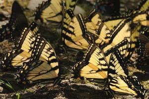 Tiger and Pipevine Swallowtail Butterflies Puddling by the Little River by Darlyne A. Murawski