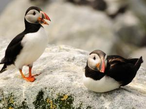 Two Atlantic Puffins on a Rock. One Is Calling by Darlyne A. Murawski