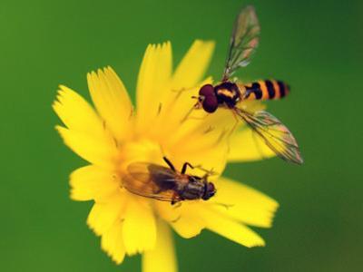 Two Flies Pollinate a Yellow Flower by Darlyne A. Murawski