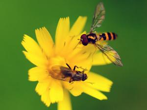 Two Flies Pollinate a Yellow Flower by Darlyne A. Murawski