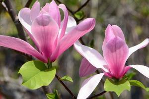 Two Saucer Magnolia Flowers in Springtime by Darlyne A. Murawski