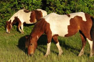 Two Wild Chincoteague Ponies Grazing by Darlyne A. Murawski