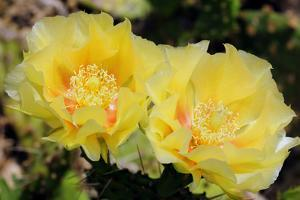 Two Yellow Prickly Pear Cactus Flowers, Opuntia Species by Darlyne A. Murawski