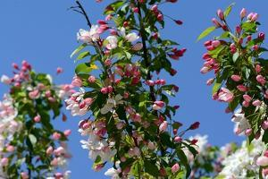 Upper Flowering Branches of a Tea Crabapple Tree, Malus Hupenhensis, in Spring by Darlyne A. Murawski