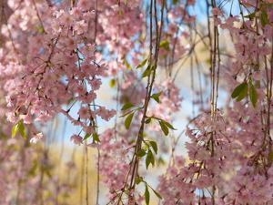 Weeping Higan Cherry Tree Branches, Prunus Subhirtella Var. Pendula by Darlyne A. Murawski