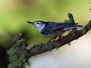 White-Breasted Nuthatch, Sitta Carolinensis, Perching on a Branch by Darlyne A. Murawski