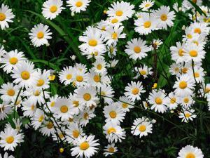 White Daisies in the Spring on Cape Cod by Darlyne A. Murawski