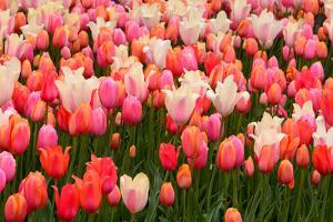 A Colorful Tulip Garden in the New York Botanical Garden by Darlyne Murawski