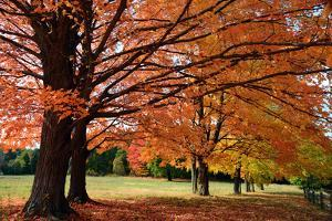 Large Sugar Maple Trees, Acer Saccharum, with Fall Foliage in Lexington, Massachusetts by Darlyne Murawski