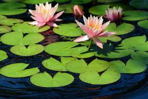 Water Lilies Flowering in a Pond on Cape Cod by Darlyne Murawski