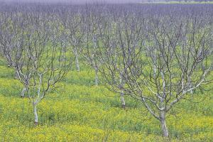 Almond Grove and Wild Mustard Plants by Darrell Gulin