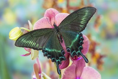 Alpine Black Swallowtail Butterfly, Papilio Maackii
