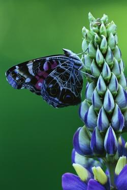 American Painted Lady Butterfly on Lupine by Darrell Gulin