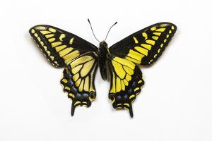Anise Swallowtail Butterfly, Top and Bottom Wing Comparison by Darrell Gulin