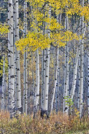 Aspen Grove in glowing golden colors of autumn, Aspen Township, Colorado by Darrell Gulin