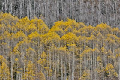 Aspen Grove in glowing golden colors of autumn, Aspen Township, Colorado by Darrell Gulin