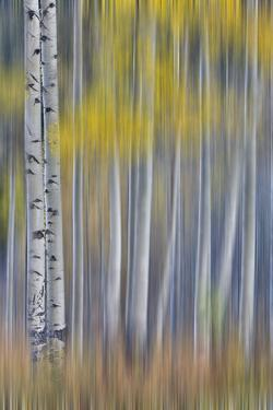 Aspen Grove in glowing golden colors of autumn near Aspen Township, Colorado by Darrell Gulin
