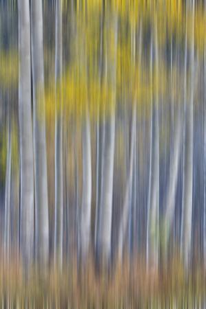 Aspen Grove in golden autumn colors, Aspen Township, Colorado by Darrell Gulin