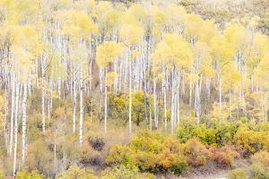 Aspen groves Kebler Pass Autumn. by Darrell Gulin