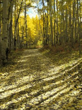 Aspen Tree Shadows and Old Country Road, Kebler Pass, Colorado, USA by Darrell Gulin