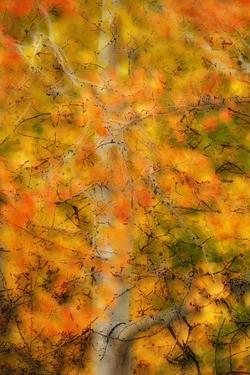 Aspens in Autumn by Darrell Gulin