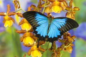 Australian Mountain Blue Swallowtail Butterfly on Orchid by Darrell Gulin