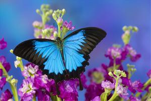 Australian Mountain Blue Swallowtail Butterfly by Darrell Gulin