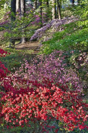 Azaleas in bloom under pine trees, Georgia by Darrell Gulin