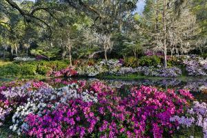 Azaleas in full bloom, Charleston, South Carolina by Darrell Gulin