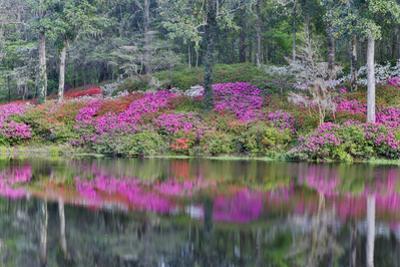 Azaleas in full bloom reflected in calm pond, Charleston, South Carolina by Darrell Gulin
