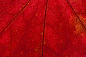 Backlighting displaying veins on Autumns red leaf by Darrell Gulin