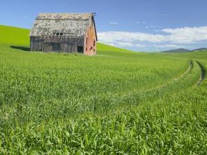 Barn and Vehicle Tracks in Wheat Field in Idaho by Darrell Gulin