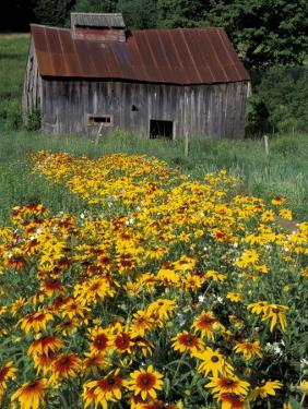 Black Eyed Susans and Barn, Vermont, USA by Darrell Gulin