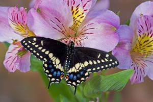 Black Swallowtail Butterfly by Darrell Gulin