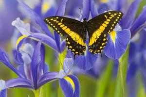 Black Swallowtail Male from Costa Rica, Papilio Polyxenes by Darrell Gulin