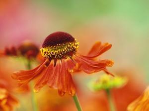 Blooming Sneeze Weed by Darrell Gulin