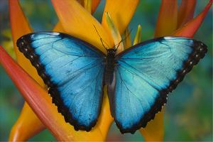 Blue Morpho Butterfly on Heliconia tropical flower by Darrell Gulin