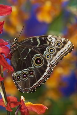 Blue Morpho Butterfly on Orchid with wings closed displaying eye spots by Darrell Gulin