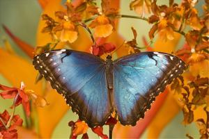 Blue Morpho Butterfly on Orchid by Darrell Gulin