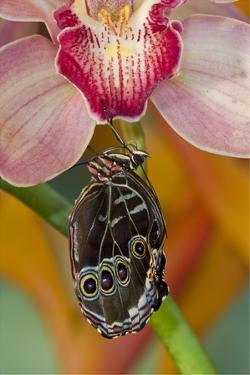 Blue Morpho Butterfly on pink Orchid just hatched out and expanding its wings by Darrell Gulin