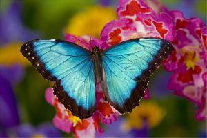 Blue Morpho Butterfly on pink Orchid by Darrell Gulin