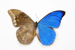 Blue Morpho, Morpho Anaxibia from Brazil, Comparison Half Topside Other Half Bottom Side by Darrell Gulin